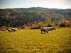 029-owce-na-hali